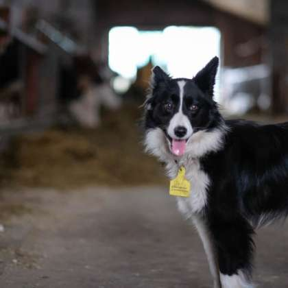 Koe in de Kost - Bordercollie Kiddik